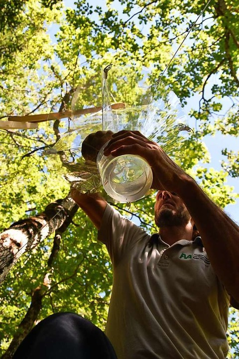 Eichenforscher Alexander Braun kontrolliert eine Käferfalle in Buchenbach.  | Foto: Max Schuler