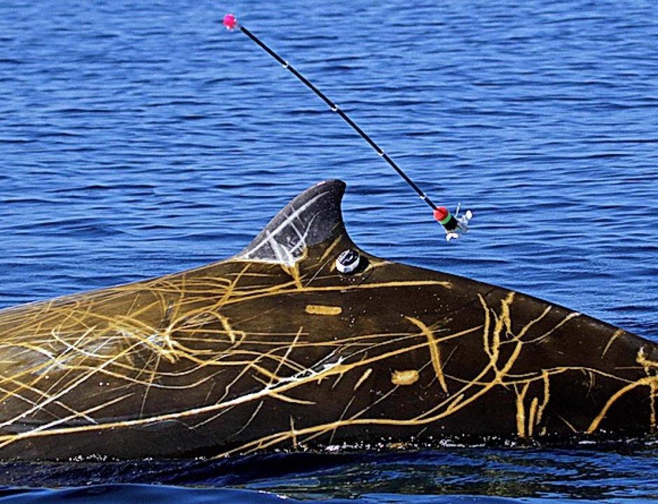 Ein Cuvier-Schnabelwal wird mit einem Sender ausgestattet.  | Foto: Erin A. Falcone