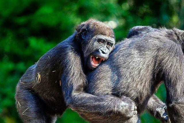 Sollen auch Affen Grundrechte bekommen? Darüber stimmt Basel bald ab