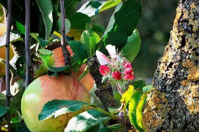 Früchte und Blüten bei Riegel