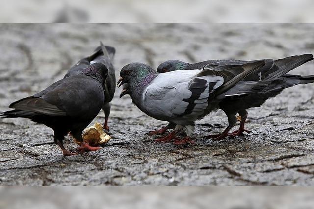 Gemeinderat diskutiert über ein Taubenhaus