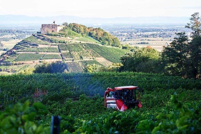 Weintrauben im Breisgau weisen dieses Jahr hochwertige Qualität auf