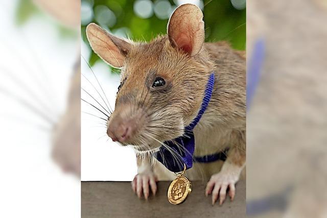Ratte mit Orden ausgezeichnet