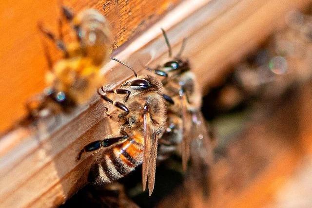 Imkerei: Wie Honig in Freiburg entsteht