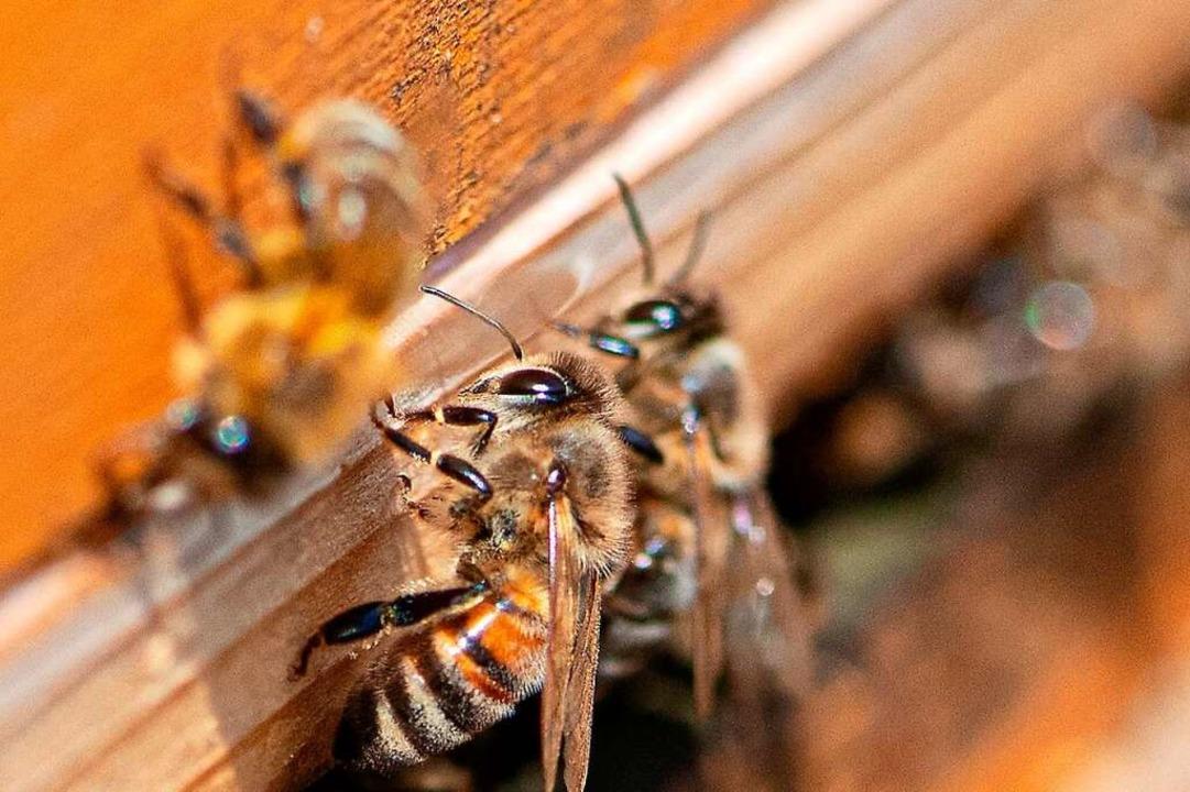 Bienen bei der Arbeit  | Foto: Wolfgang Scheu