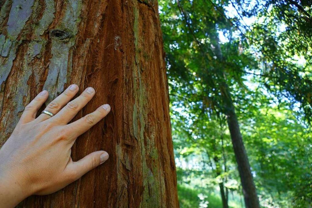 Kleine Hand, großer Baum: Ein Mammutbaum im Kaiserstuhl.  | Foto: Silke Kohlmann