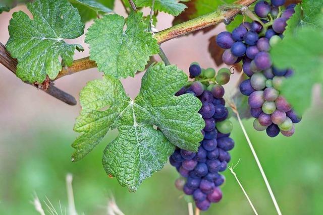 Kann im Wald rund um Ettenheim zukünftig Wein angebaut werden?