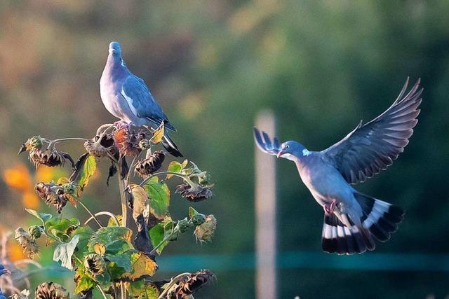 Alle wollen ein Taubenhaus – einige Fragen sind aber noch offen