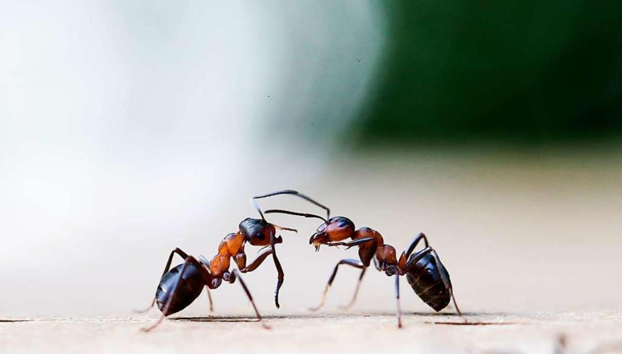 In Wald und Flur haben Ameisen ihre Funktion, in Wohnungen sind sie unerwünscht.  | Foto: Ulrich Perrey