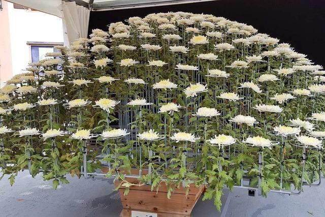 Auch ohne Chrysanthema gibt es Blumenschmuck – und einen Ozukuri im Stadtpark