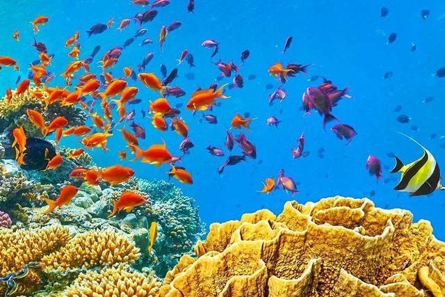 Im nördlichen Roten Meer halten Korallen dem Klimastress stand