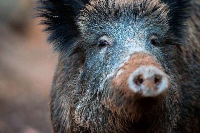 Denzlinger Landwirte ärgern sich über Wildschweine auf ihren Äckern