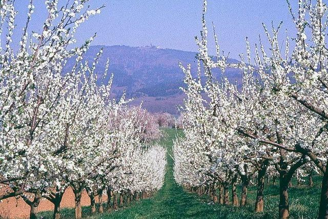 Im Markgräflerland durch die ganze Pracht der Kirschblüte wandern