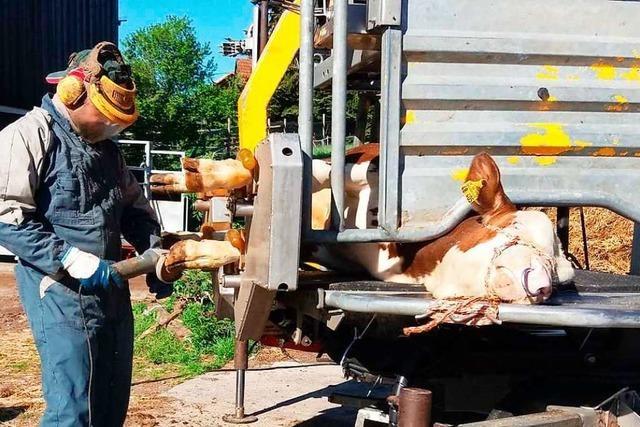 Ein mobiles Nagelstudio für Rinder