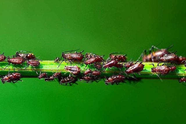 Warum es dieses Jahr so viele Blattläuse gibt