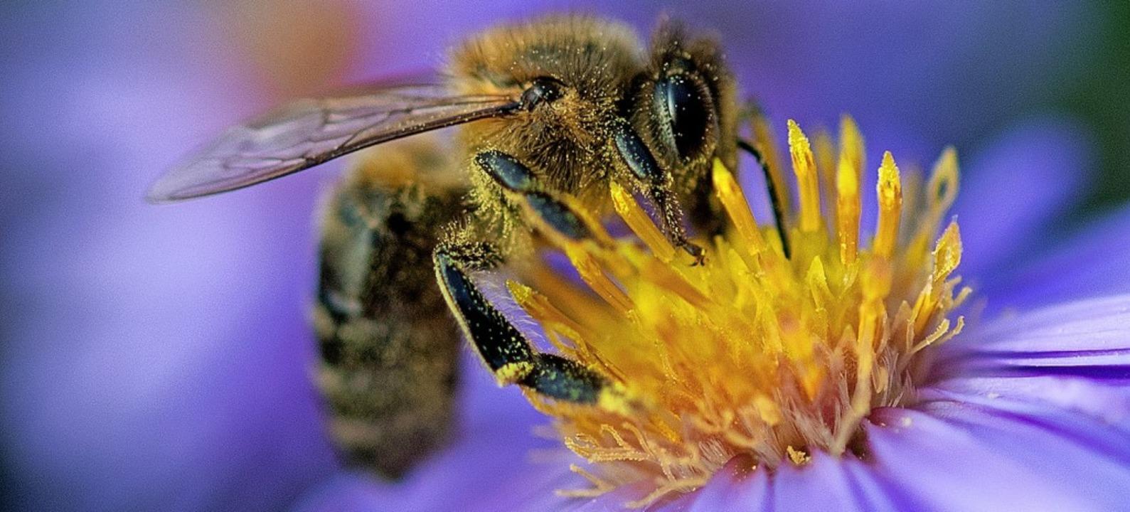 Rund um Wehr gibt es eher wenig Wildbienen, dafür aber viele Wespen.    Foto: Monika Skolimowska