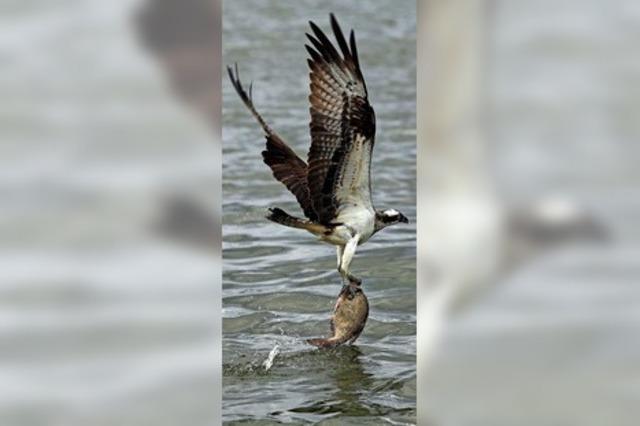 Fischadler gesichtet