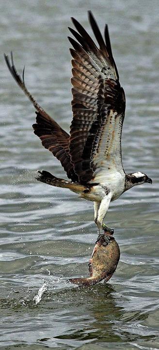 Ein Fischadler auf Beutezug   | Foto: usage worldwide, Verwendung weltweit