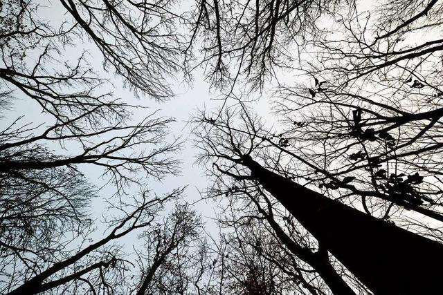 Nach dem Eschensterben befällt eine neue Krankheit die Ahornbäume