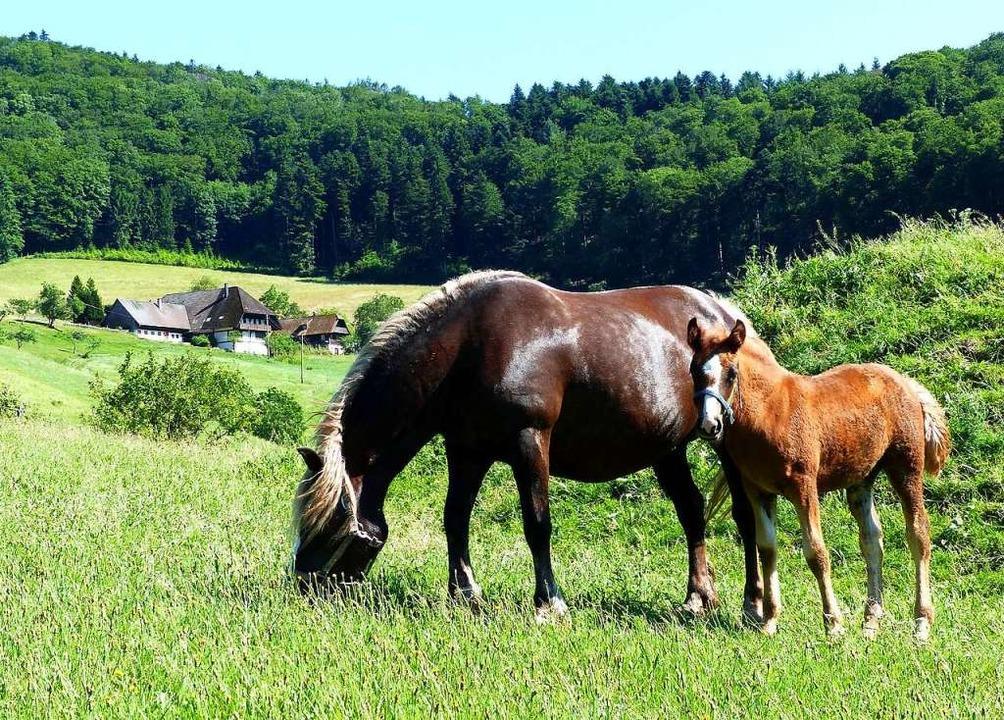 Pferde können durch das Jakobskreuzkraut chronische Lebervergiftungen erleiden.  | Foto: Hansjörg Vögele