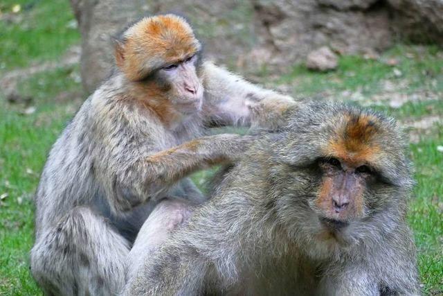 Zwei ausgebüxte Affen erkunden ein Dorf im Schwarzwald