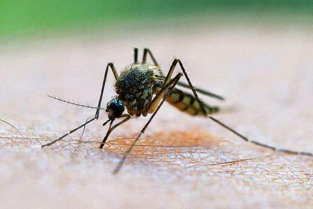 Mit Gentechnik soll in Florida die Gelbfiebermücke bekämpft werden