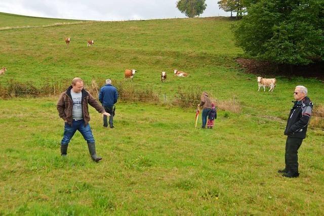 Rinder, die in die Landschaft passen