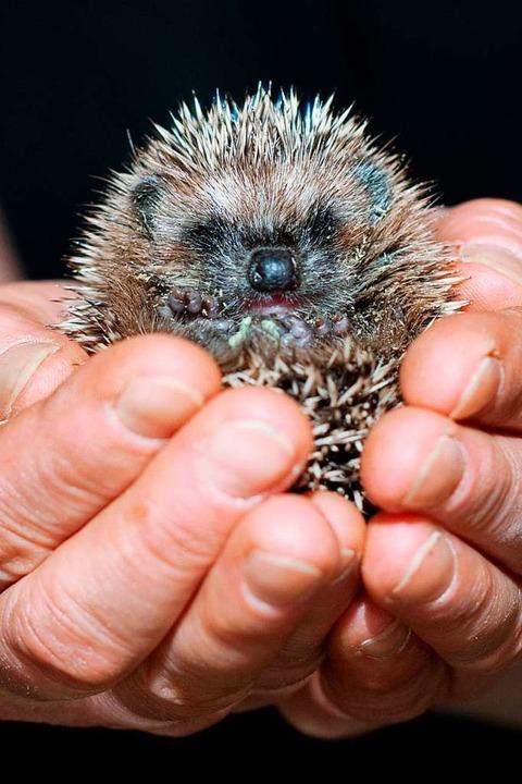 Auch um verwaiste Igelbabys kümmern sich die Tierheime im Kreis.    Foto: Klaus-Dietmar Gabbert