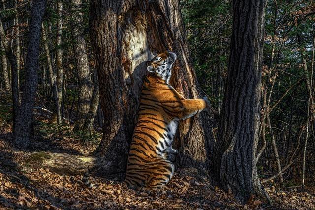 Preisgekröntes Tigerfoto