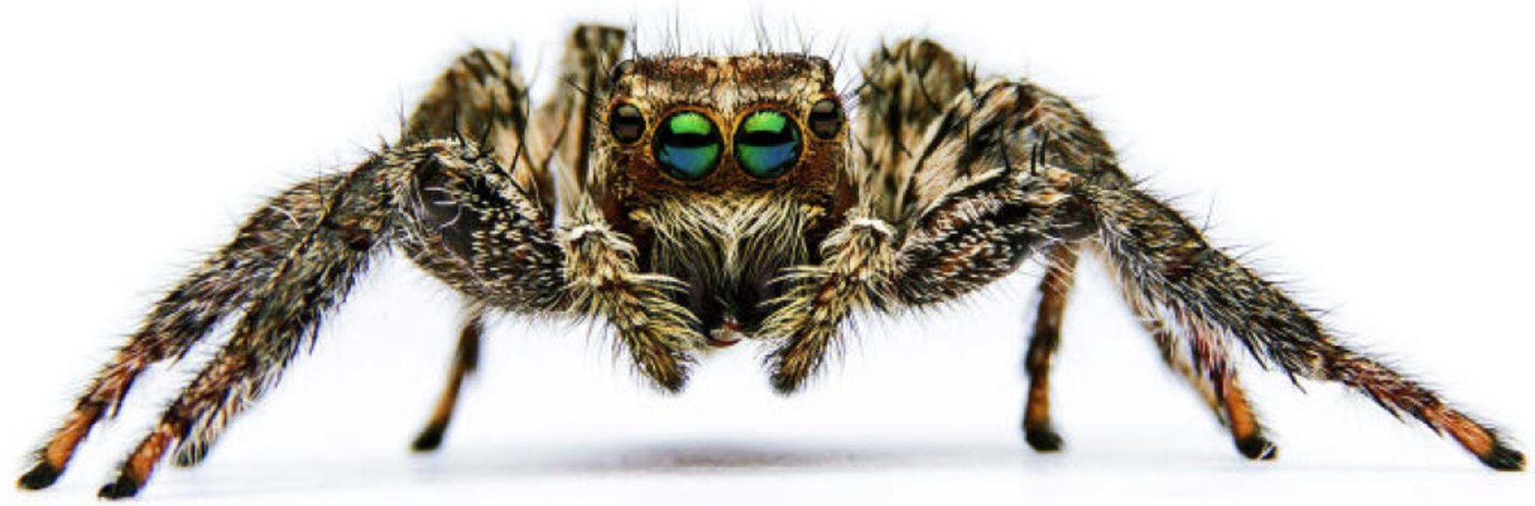 Albtraum jedes Spinnenphobikers: eine ...eide spinnt  sie Eikokons statt Netze.  | Foto: pichit1422  (stock.adobe.com)