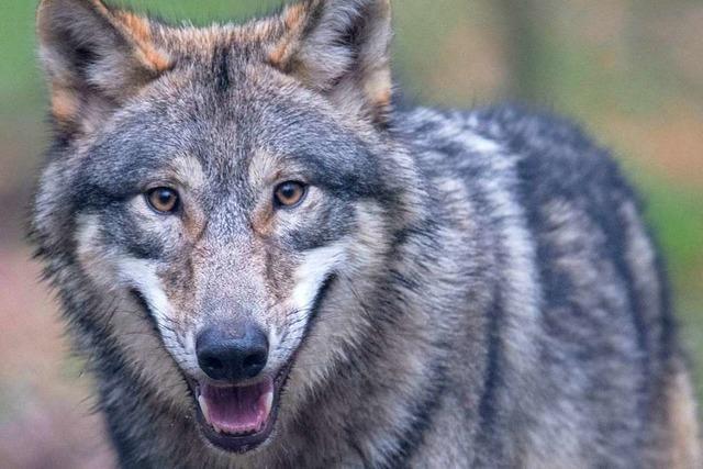 Sechs Wölfe fliehen aus einem Wildgehege in Südfrankreich