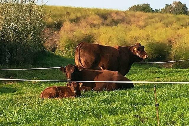 In Bad Bellingen haben drei ausgebüchste Kühe den Straßenverkehr unsicher gemacht
