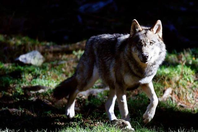 Der Widerstand im Oberen Wiesental gegen den Wolf wächst
