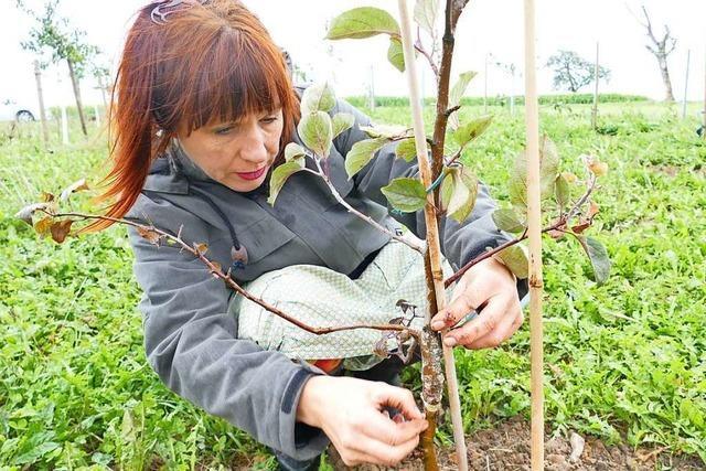 Forschungsprojekt befasst sich mit dem Erhalt historischer Apfelsorten