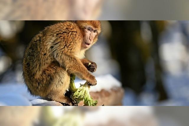 Die Affen rasen durch den Wald