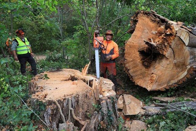 Waldarbeiter fällen riesige morsche Pappeln am Rhein
