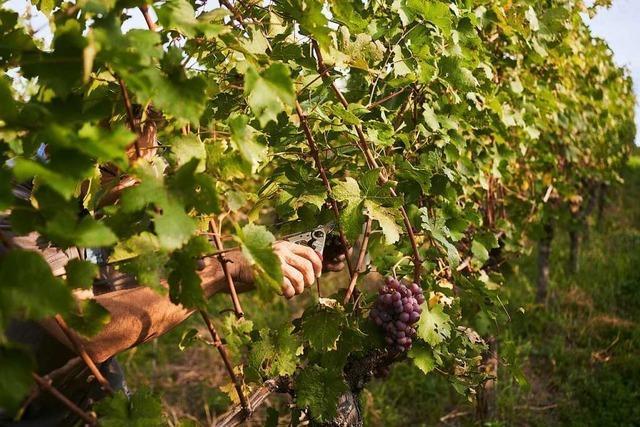In Efringen-Kirchen und Binzen wird immer mehr veganer Wein produziert