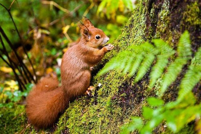 Im Eichhörnchenwald in Hinterzarten kann man Eichhörnchen füttern