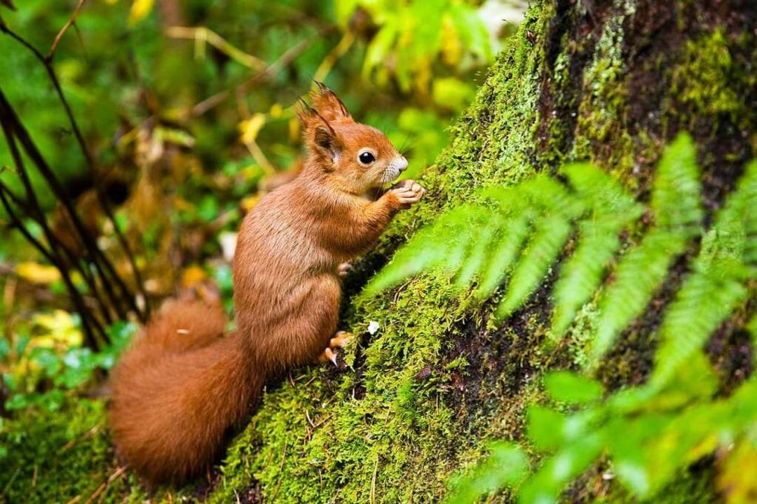 Cleveres Eichhörnchen: Erst Nüsse stibitzen und sich dann am Baum verstecken.    Foto: Anita Fertl