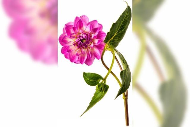 Blumen vom hiesigen Feld