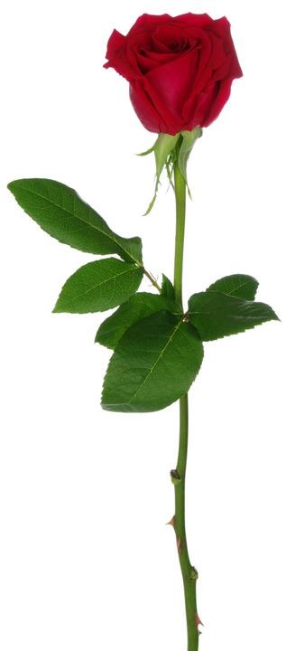 Eine Rose  | Foto: Alekss - stock.adobe.com