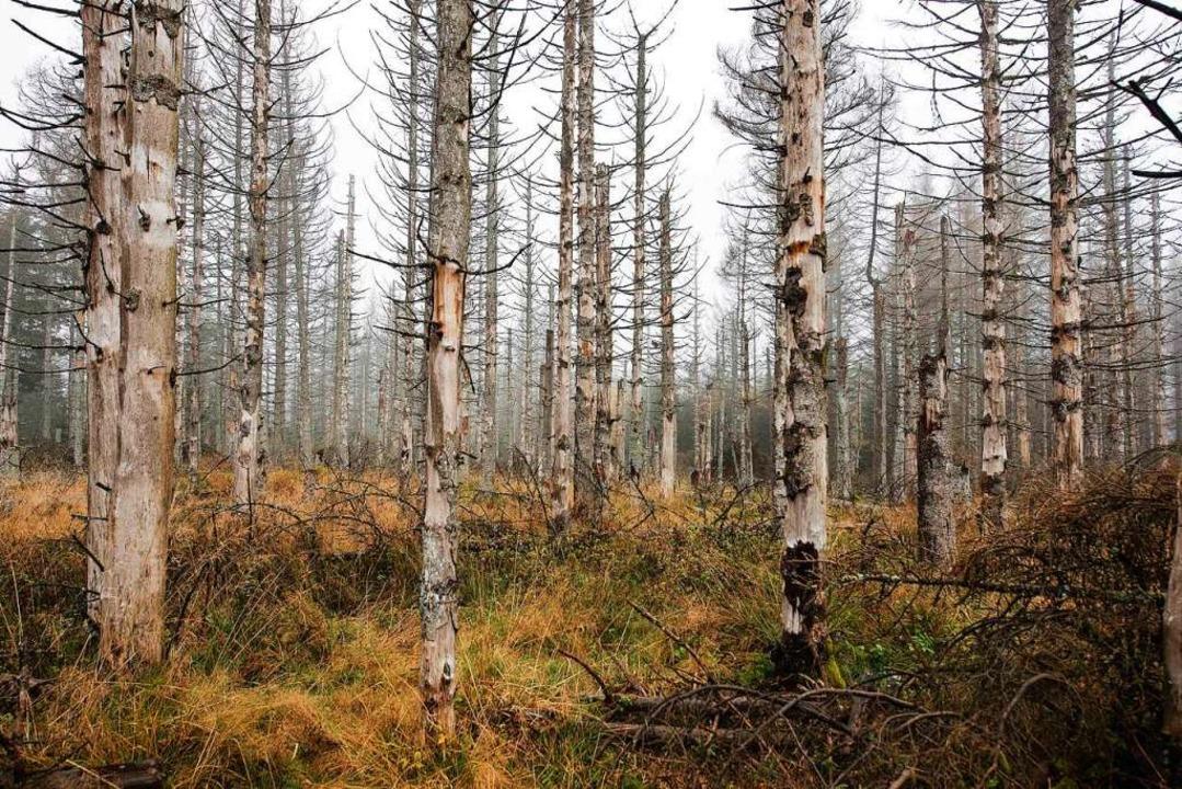 Abgestorbene Fichten zeigen, dass es dem Wald nicht gut geht.  | Foto: Swen Pförtner (dpa)