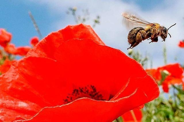 Es gibt zu wenige Wiesen und Blühstreifen, sagt eine Imkerin