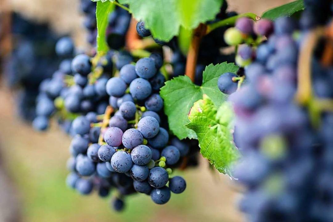 Auch der Weinbau muss umdenken – und vermehrt auf Spritzmittel verzichten  | Foto: Christoph Schmidt (dpa)