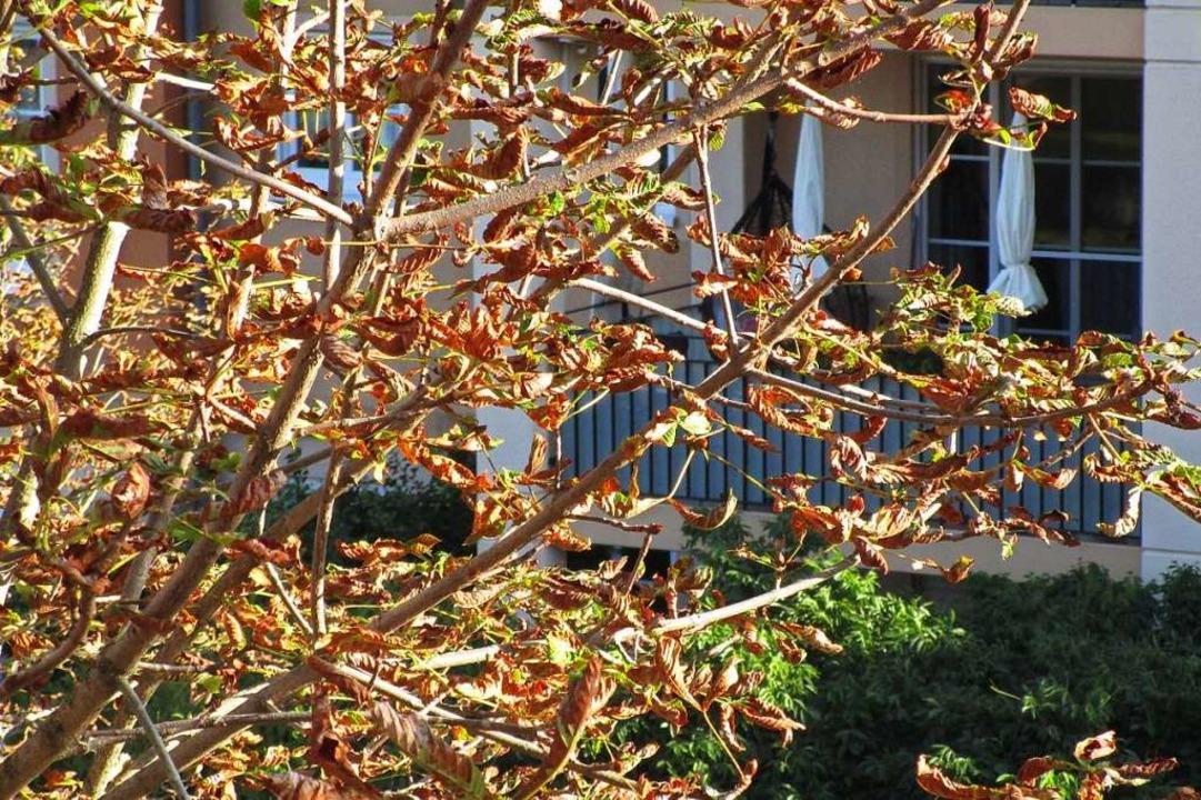 Braune Kastanienblätter im September s...Miniermotten den Baum befallen haben.   | Foto: Michael Szabados