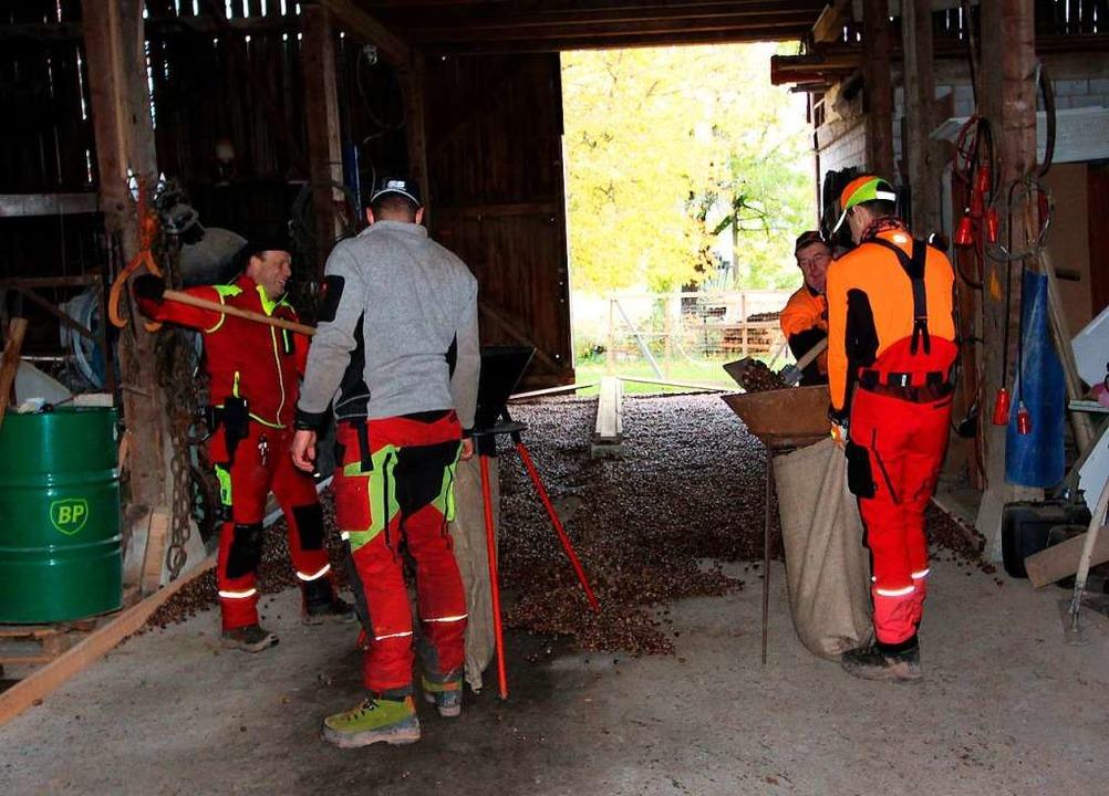 Für den Transport in eine Baumschule w...die Eicheln wieder in Säcke abgefüllt.  | Foto: Reinhard Cremer