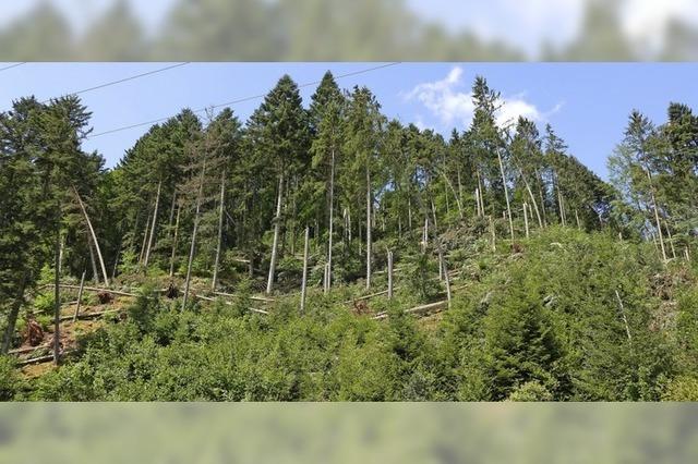 Tote Bäume gefährden Autofahrer