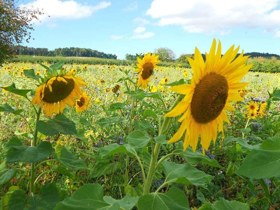 Fast so bunt wie eine Wildblumenwiese:...ckersenf verbessert die Bodenstruktur.  | Foto: Victoria Langelott