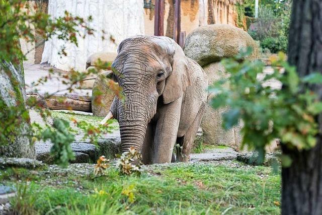 Elefantenbulle Jack hat in Basel keinen Nachwuchs gezeugt