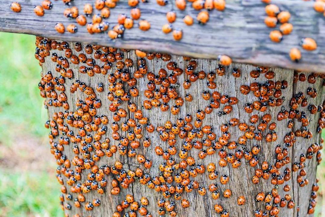 Harlekin-Käfer schätzen die Gesellschaft ihrer Artgenossen.  | Foto: Martin Wennerwald
